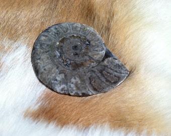 Ammonite Fossil specimen
