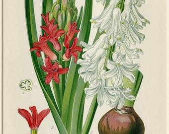 1896 Antique Botanical Print Flower Print Hyacinth Bulb Step Matted Original Chromolithograph Garden Plant Bulb Spring Decor Gift