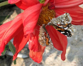 Butterflies nestled in a flower