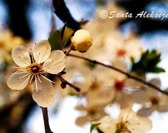 Cherry blossom - Fine Art Photography - Digital photography download, instant download, flower photography, cherry blossom, floral photo