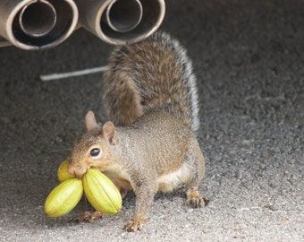 """Photo greeting card (blank inside) """"Quite a Mouthful"""" squirrel nuts funny animals nature humor fine art"""