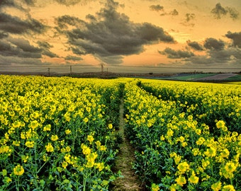 Rapeseed field - Fields of Gold - sunset over yellow field, countryside photography, field crops