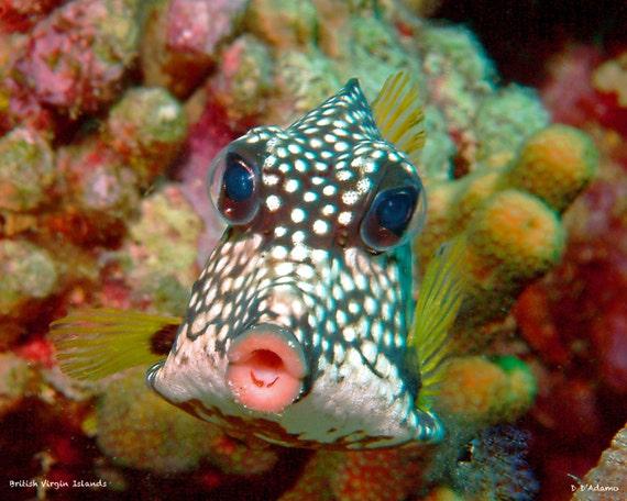 Box fish in british virgin islands nautical home decor he is for Virgin islands fishing