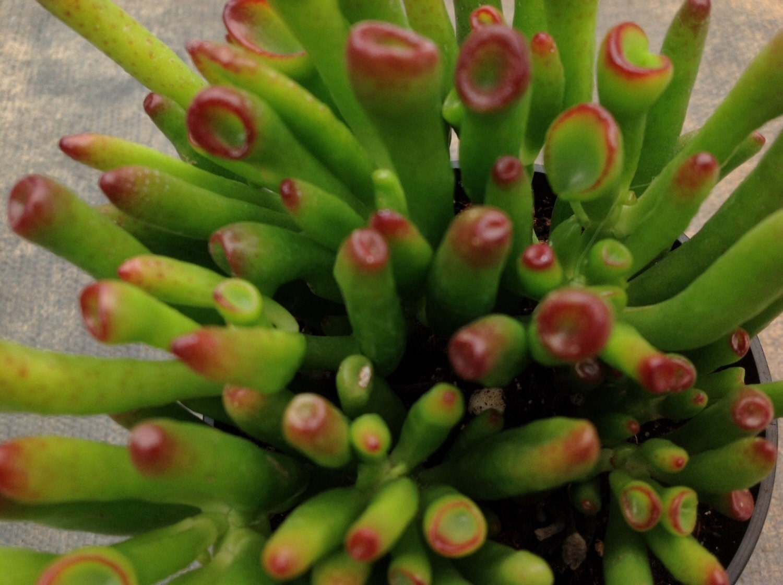 succulent plant finger jade  crassula argentea cv