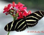 Zebra Longwing Butterfly, Original Photographic Art, Photography, Butterfly Photograph, Instant Download 004