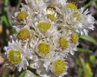 New Snow Anaphalis Flower Seeds / Margaritacea / Perennial  100+