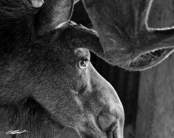 Velveteen Moose