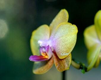 Orchid - Macro