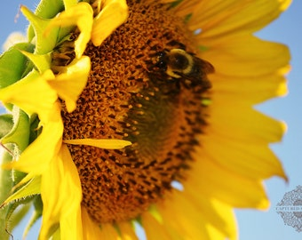 A beautiful sunflower & bee pollinating