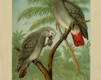 antique parrot art print, vintage printable digital download for home decor and more, no. 1315.