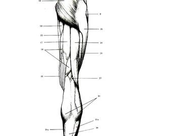 Human Anatomy - Muscles of the Leg - 1975 Vintage Anatomy Print -  12 x 9