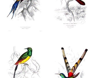 Birds - Hummingbirds - Jardine's Naturalist Illustrations - 2 Sided 1990's Book Page
