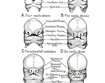Human Embryology - Origin and Development of an Individual - 1965 Human Anatomy Book Page