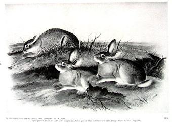 Vintage Audubon Animal Print - Washington Rocky Mountain Cottontail Rabbit - 1951 Vintage Book Page - Black and White