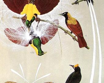 Bird Print - Trumpet Bird, Rifle Bird, Bird of Paradise, Ribbon Tailed Astrapia, Long Tailed Paradigalla - 1973 Encyclopedia Book Page