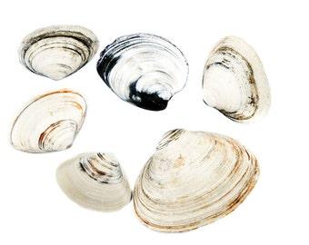Clams Clam Shell Coastal Wall Art Bivalve Still Life Beach Photography