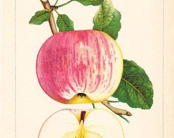 1887 Fruit Print - Summer Rose Apple - Vintage Home Kitchen Food Decor Plant Art Illustration Great for Framing 100 Years Old