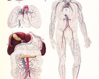1925 Human Anatomy Print - Vintage Antique Medical Anatomy Art Illustration for Doctor Hospital Office