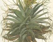Cob or Prism Cactus, Vintage Cactus Print, 8 x 10, Botanical Cacti Plant (51) Leuchtenbergia, Natural History, Art, 1971