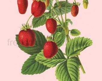 antique french botanical illustration strawberries DIGITAL DOWNLOAD