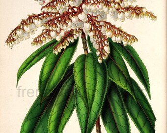 antique french botanical illustration white andromeda botanical print DIGITAL DOWNLOAD