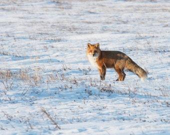 Red Arctic Fox...Alaskan Fine Art Photography