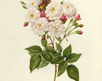 Vintage Redoute Roses Print Book Plate  SALE~~Buy 3, get 1 Free