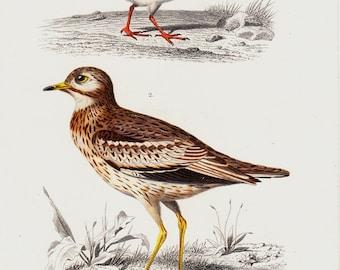 1869 Antique BIRD lithograph, ornithology, original antique hand colored print