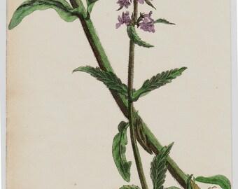 1863 Antique FLOWER print, handcolored Marsh Wound wort,  botanical print of wild flowers