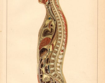 1894 Vertical Cross-section of the Male Human Body, Bones, Organs, Veines Original Antique Lithograph