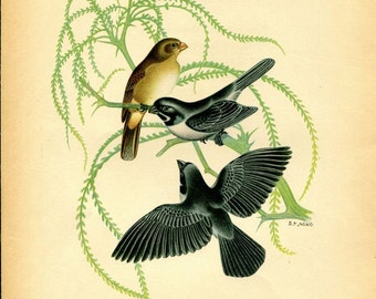 1942 Vintage Bird Print, Double Collared Seedeater,  Birds of South America Illustration