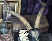 Sacred Seal -- impala spirit skull - alchemy art curio painted skull