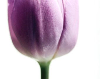 nature photography tulip photography purple wall art violet flower photography nature art fine art phototgraphy 4x6 5x7 6x8 8x10 8x11 10x15