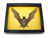 Framed Taxidermy Wall Hanging Bat Art Oddities Home Decor Mummified Animals Educational Display