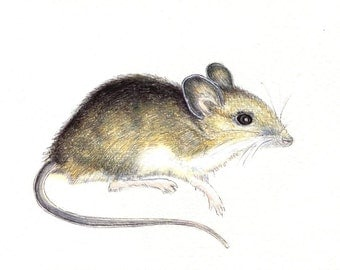 "Field Mouse Print: Digital print of an original drawing available 5x7"" or 8x10"""