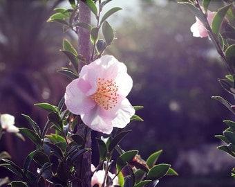 Pale Pink Flower Photo - Delicate Décor, Spring Flower, Fine Art Photo, Australian Plant, Nature Wall Art, Feminine Décor - 8x12 - 10x15