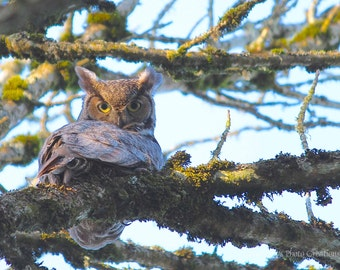 Bird Photography, Great Horned Owl Photo, Wildlife, Blue Brown Wall Art, Decor, Nature Photography, Woodland Animal Picture, Fine Art Print