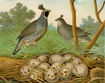 """1882 Matted Antique Bird Print """"California Valley Quail"""" Thomas Gentry First Edition Nest and Eggs Natural History 11x14"""""""