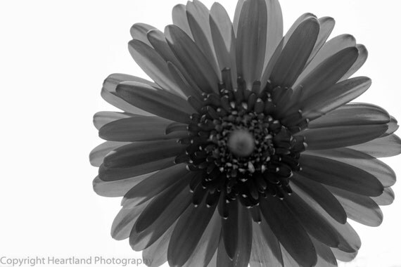Black and White, Flower Photography, Daisy Photo, Macro Picture, Spring Flowers, Summer Time, 8x10 8x12 9x12, 10x13 11x14 inches, Monochrome