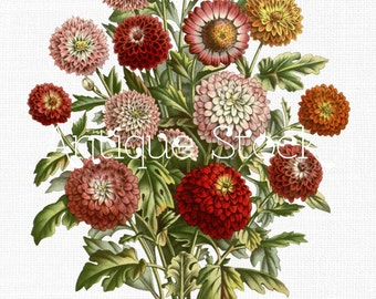 Chrysanthemums Bouquet Vintage Image - Bunch of Chrysanths Flowers Illustration 1861 - Digital Download for Collages, Invites, Cards...