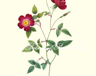 """Rose Print. #7. Flower Picture. Botanical Prints. Roses Wall Art.  8x10"""" 11x14"""""""