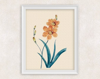 Orange Iris Botanical Art Print - 8x10 PRINT Antique Flower Print - Garden Prints - Illustration - Poster - Victorian Art - Item #151