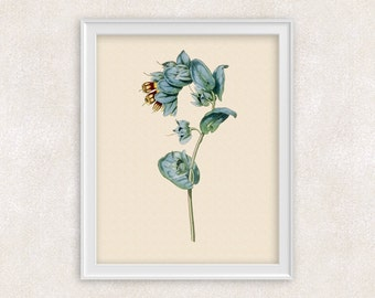 Honeywort Botanical Art Print - 8x10 PRINT - Blue Shrimp Plant - Flower Print - Garden Prints - Poster - Victorian Art - Item #160