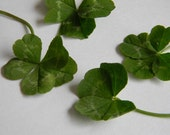 Real 4 Leaf Clover: dried, pressed individual real 4leaf clover, natural, green, sustainable, real four 4 leaf clover, lucky, flat, jewelry,