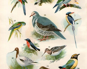 Vintage Bird Print Natural History Antique Illustration Bird feathers Red parrot lark pigeon robin Feathers Gull