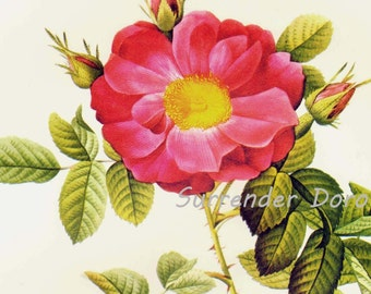 Red Portland Rose Redoute Rosa Damascena Coccinea Vintage Flower Botanical Lithograph Poster Print To Frame 30