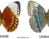 Real Stichophthalma louisa Butterfly, spread for your project or laminated or unmounted