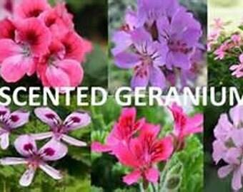 Spring Garden Scented Geranium Assortment