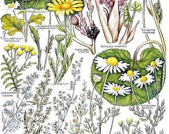 1965 British Flowers Vintage Book Plate Corn Marigold, Sea Wormwood, Mugwort, Tansy P46