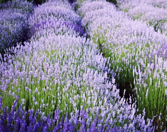 "Lavender field purple green photograph lavender flowers wall art ""Lavender Blue"""